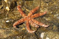 Beautiful sea star Stock Photography