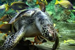 Beautiful sea turtle in aquarium surrounded by fish royalty free stock photo