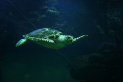 Beautiful sea turtle close-up of a swims in an aquarium of the oceanarium Royalty Free Stock Photos