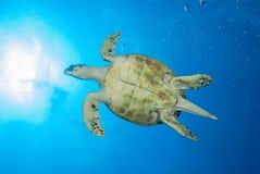 A beautiful sea turtle gliding through the water Stock Photo