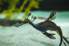 A beautiful seadragon royalty free stock image