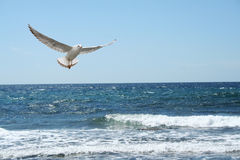 A beautiful seagul Stock Photo