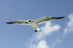 A beautiful seagull Royalty Free Stock Photos