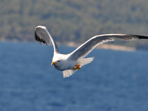 Beautiful seagull Stock Photography