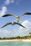 A beautiful seagull Royalty Free Stock Photography
