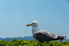 Beautiful seagull Stock Image
