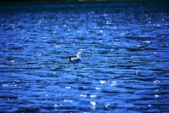 Beautiful seagull on the blue water, single bird on water royalty free stock photography