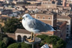 Beautiful seagull in the city. royalty free stock photos