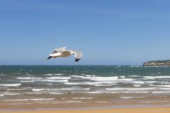 Beautiful seagull flies in stormy weather on the background of a sandy beach and ocean surf royalty free stock image