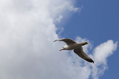 Beautiful seagull flying in the clouds. Royalty Free Stock Photography