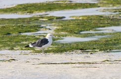 Beautiful seagull in green during low tide Royalty Free Stock Image