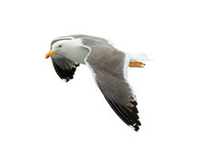 Beautiful seagull isolated on white Royalty Free Stock Images
