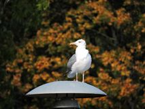 Beautiful seagull on lamp in autumn, Lithuania Stock Photography