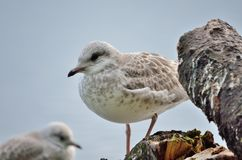 Beautiful seagull posing Stock Photos