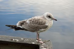 Beautiful seagull posing Stock Photo