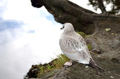 Beautiful seagull posing next to summer pond Royalty Free Stock Image
