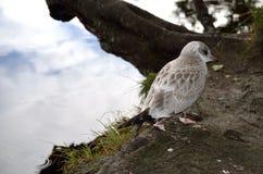 Beautiful seagull posing next to summer pond Stock Photos