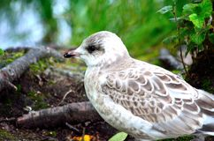 Beautiful seagull posing next to summer pond Royalty Free Stock Photo