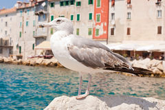 Beautiful seagull rests alone on the stone Royalty Free Stock Photo
