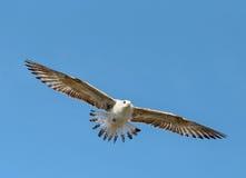 Beautiful seagull sea Stock Images