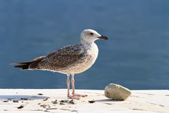 Beautiful seagull on the shore close up Stock Photos