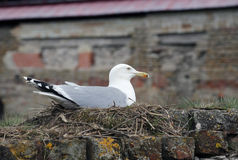 A beautiful seagull sits on the nest. Stock Photography