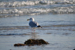 Beautiful seagull sitting in her place Stock Photography