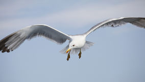 Beautiful seagull soaring in the blue sky Royalty Free Stock Photography