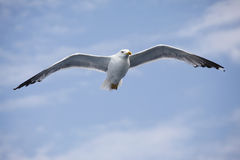 Beautiful seagull soaring in the blue sky Royalty Free Stock Images