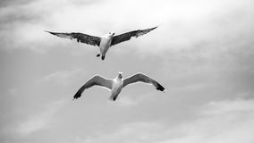 Beautiful seagull soaring in the sky Stock Photos