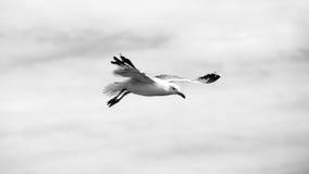 Beautiful seagull soaring in the sky Stock Photo