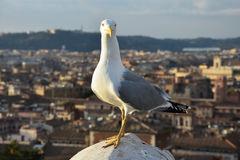 Beautiful Seagull on a sunny day in Rome Royalty Free Stock Images