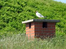 Beautiful seagull on ventilation in Klaipeda town , Lithuania royalty free stock photography