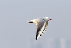 Beautiful seagull with wings down during flight Royalty Free Stock Photos