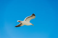 Beautiful Seagulls Royalty Free Stock Photography