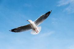 Beautiful Seagulls flying in the sky Royalty Free Stock Photo
