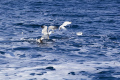 Beautiful seagulls over the sea Royalty Free Stock Images