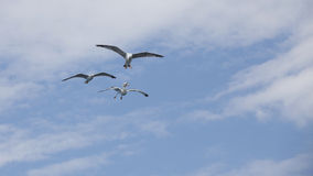Beautiful seagulls soaring in the blue sky Stock Photos