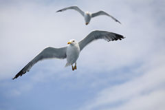 Beautiful seagulls soaring in the blue sky Royalty Free Stock Photos