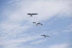 Beautiful seagulls soaring in the blue sky Stock Photo