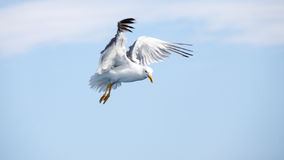 Beautiful seagulls soaring in the sky Stock Images