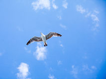 Beautiful seagulls soaring in the sky Stock Photo