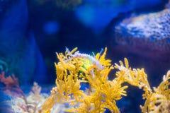 Beautiful seahorse amongst weeds. Stock Photography