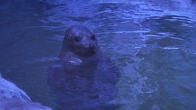 A beautiful seal floats in the water. stock video footage