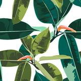 Beautiful seamless floral pattern background with tropical ficus elastica. White background royalty free illustration