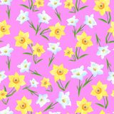 Daffodils on a pink Background-01 Royalty Free Stock Photo