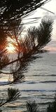 Seascape. The setting sun through the needles of pine branches. royalty free stock images