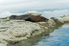 Brown fur seal sleeping on a beach royalty free stock photography