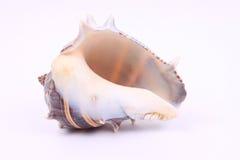 Beautiful Seashell 4. A Beautiful seashell sitting all by itself stock image