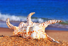 Beautiful seashell on the beach sand Stock Photos